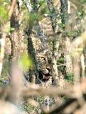 Leopardo nascosto dietro gli alberi Fotografie Stock