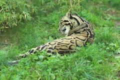 Leopardo nebuloso di menzogne Immagine Stock