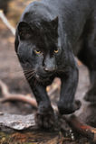Leopardo negro fotos de archivo