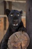 Leopardo negro Imágenes de archivo libres de regalías