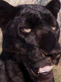 Leopardo negro con los ojos amarillos Fotos de archivo