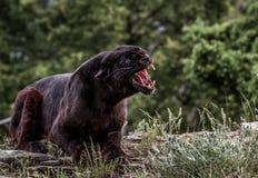Leopardo negro del gruñido Imágenes de archivo libres de regalías
