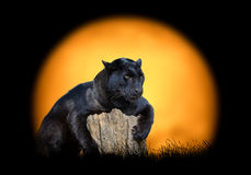 Leopardo negro en el fondo de la puesta del sol imagen de archivo libre de regalías
