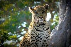 Leopardo nel Botswana. Fotografia Stock
