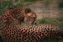Leopardo nel loro habitat naturale nella savana africana immagine stock libera da diritti
