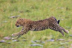 Leopardo nel moto Fotografia Stock Libera da Diritti