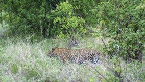 Leopardo nel parco nazionale di Yala, Sri Lanka Immagini Stock Libere da Diritti