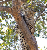 Leopardo nel selvaggio Fotografie Stock Libere da Diritti
