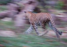 Leopardo nell'azione Fotografia Stock