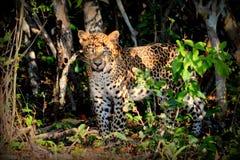 Leopardo nell'endemico della giungla in Sri Lanka animale molto raro è una protezione della fortezza denti acutamente fotografia stock libera da diritti