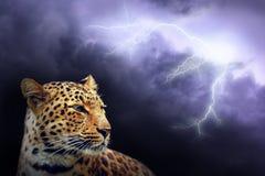 Leopardo nella notte Fotografia Stock