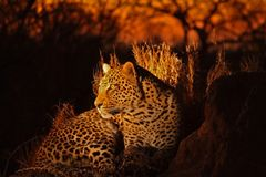 Leopardo nelle sabbie di Sabi Fotografia Stock