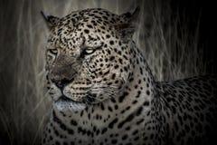 Leopardo nello scuro Fotografia Stock Libera da Diritti
