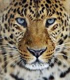 Leopardo nello Sri Lanka Immagine Stock