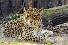 Leopardo nello zoo Fotografie Stock Libere da Diritti