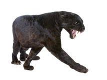 Leopardo nero (6 anni) fotografia stock libera da diritti