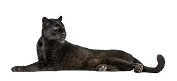 Leopardo nero davanti ad una priorità bassa bianca fotografia stock