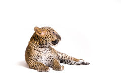 Leopardo no estúdio Fotografia de Stock Royalty Free