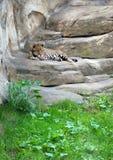 Leopardo no jardim zoológico de Moscovo Imagem de Stock