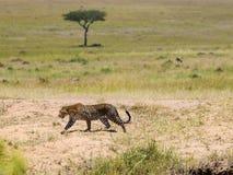 Leopardo no Masai Mara, Kenya imagem de stock