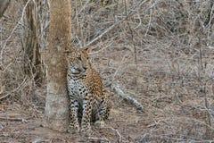 Leopardo no parque nacional de Yala Imagens de Stock