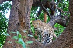 Leopardo no parque nacional Luangwa sul fotos de stock
