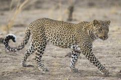 Leopardo no parque nacional sul de Luangwa Imagem de Stock