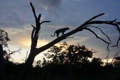 Leopardo no por do sol em uma árvore Imagem de Stock