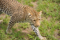 Leopardo no prowl Foto de Stock Royalty Free