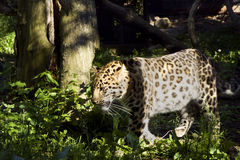 Leopardo no verde Foto de Stock Royalty Free