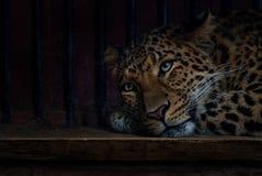 Leopardo Norte-chinês foto de stock