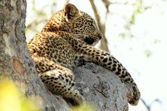 Leopardo novo bonito na árvore em África do Sul imagem de stock