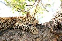 Leopardo novo bonito na árvore em África do Sul fotografia de stock