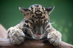 Leopardo nublado imagen de archivo libre de regalías