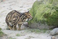 Leopardo nublado foto de archivo libre de regalías