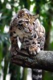Leopardo nublado en árboles fotografía de archivo libre de regalías