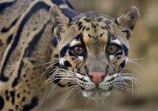 Leopardo nublado (nebulosa de Neofelis) fotos de archivo libres de regalías