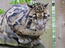 Leopardo nublado que olha o olho ao olho fotos de stock royalty free