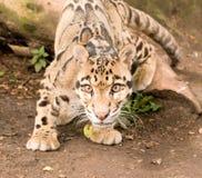 Leopardo nublado sobresaltado foto de archivo