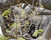Leopardo ocultado parcialmente en un árbol Imagen de archivo libre de regalías