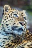 Leopardo, pantera fotografia stock