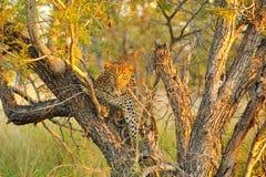 Leopardo (pardus del Panthera) Fotografía de archivo
