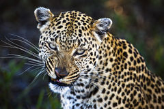 Leopardo (pardus del Panthera) Fotografia Stock Libera da Diritti