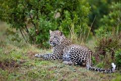 Leopardo (pardus del Panthera) Fotografia Stock