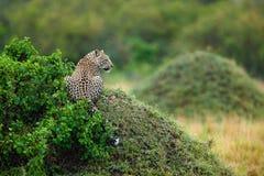 Leopardo (pardus del Panthera) Immagini Stock Libere da Diritti