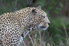 Leopardo (pardus del Panthera) Foto de archivo