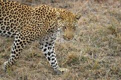 Leopardo (pardus del Panthera) Fotos de archivo libres de regalías