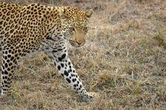 Leopardo (pardus del Panthera) Fotos de archivo
