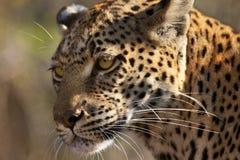 Leopardo (pardus) del Panthera - Botswana Foto de archivo libre de regalías