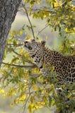 Leopardo (pardus del Panthera) en árbol Imagen de archivo libre de regalías